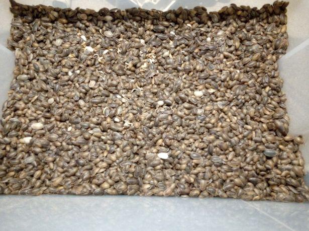 Karaczany argentyńskie karaczan argentyński 1-2 cm100szt(różne ilości)