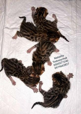 Бенгальські кошенята. WCF!!!