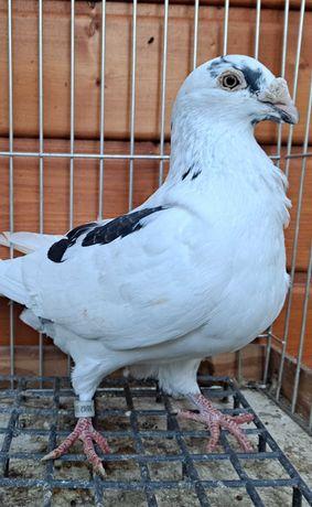 Gołębie staropolskie samczyk