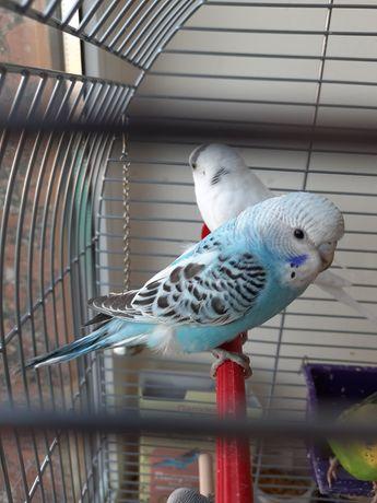 Попугаи малыши