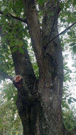 Віддам дерево горіха на дрова