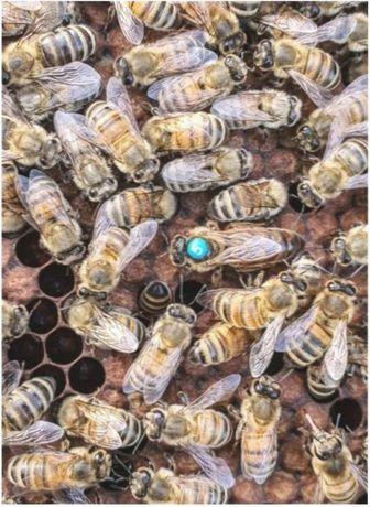 В сезоне 2021г.. Пчелиные матки. (F-1). СARNICA Тройзек С Германии.