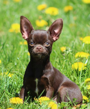 Chihuahua czekoladowe pieski FCI