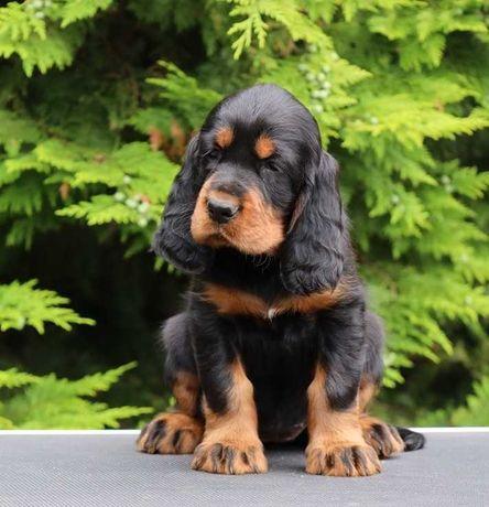 Seter Szkocki Gordon - szczenięta, pies do kochania i na wystawy
