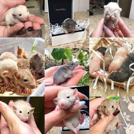 Продам нереально красивых крысиков!!!