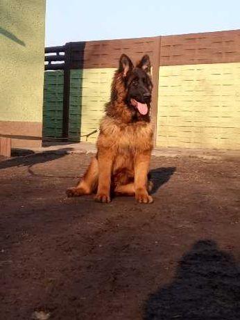 Owczarek Niemiecki Długowłosy SUPER Pies