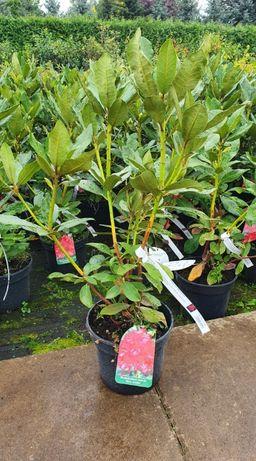 Rododendron Nowa Zembla Szkółka WEBER Kicin