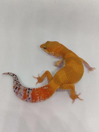 Gekon lamparci Super Hypo Tangerine Electric cross SAMICA