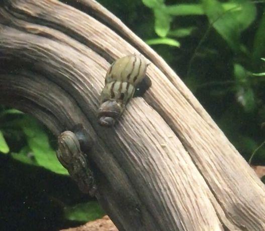 Caracois tuberculata