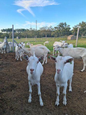 Cabras raça saanen