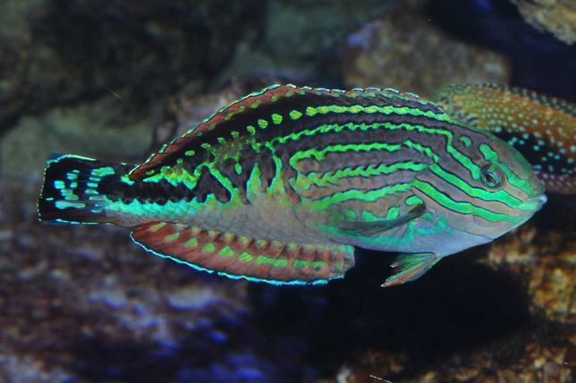 Akwarium morskie - Macropharyngodon bipartitus