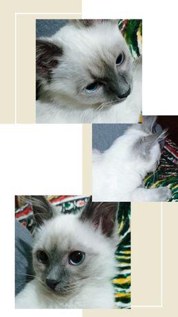 Котик  породистий для злучки. В'язка кота.