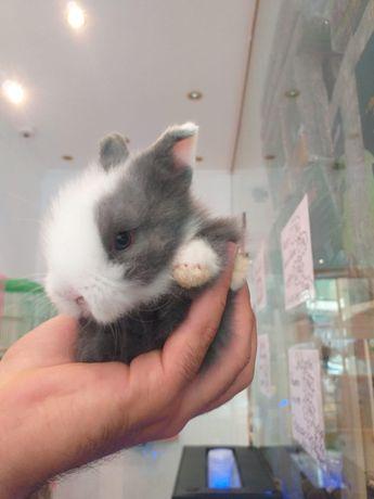 Kit coelhos anões ( mini toy, mini , holandês , mini teddy)