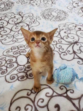Абиссинские котята разного окраса. Родословная, документы.