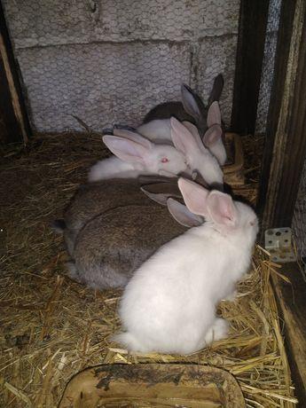 Sprzedam króliki młode mieszańce