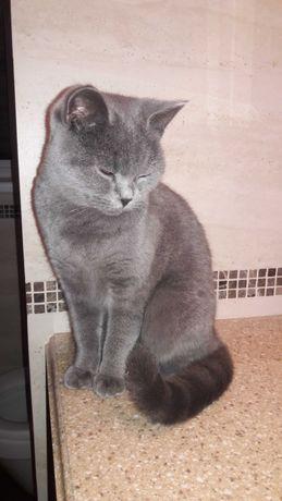Пропала кошка породы Британская короткошерстная
