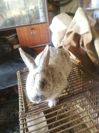 Кролик кріль європейське срібло