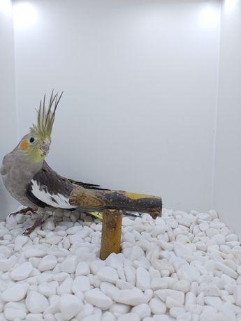 Papuga nimfa 2021rok