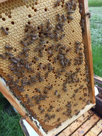Pszczoły rodziny pszczele pasieka