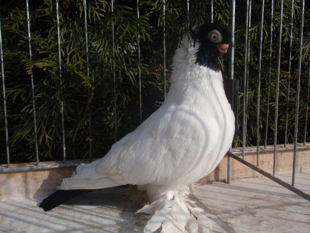Barwnogłówki, Barwnogłówki Królewieckie - gołębie ozdobne !