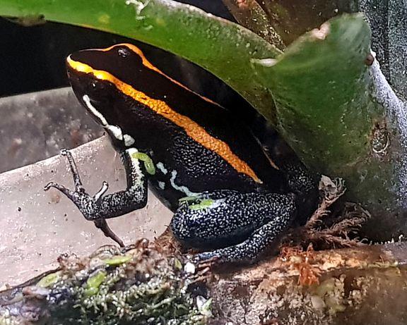 Phyllobates vittatus - drzewołaz, dendrobates, żaba promocja lipiec