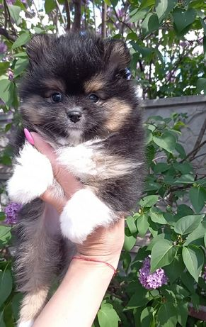 Продам щенка помчика