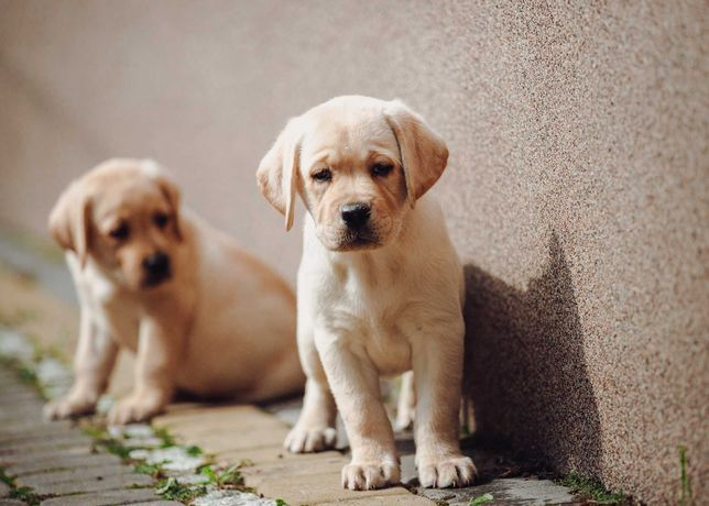 Labrador retriever, śliczne szczeniaki
