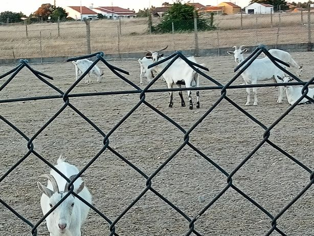 Cabras bem tratadas