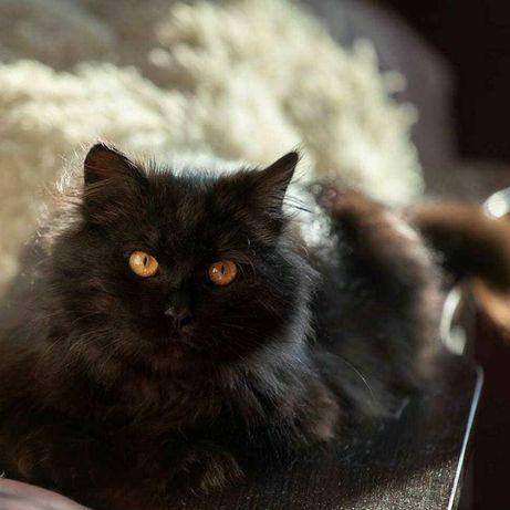 Отдам черного пушистого кота, 8 месяцев, кастрирован