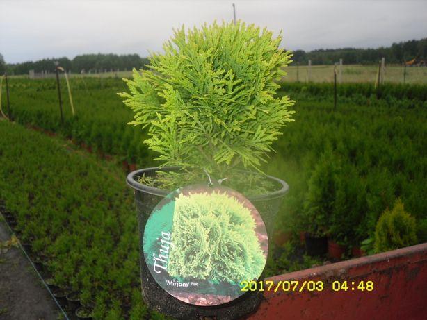 tuja złota kólka danica doniczka 2 l producent transpotr sadzenie