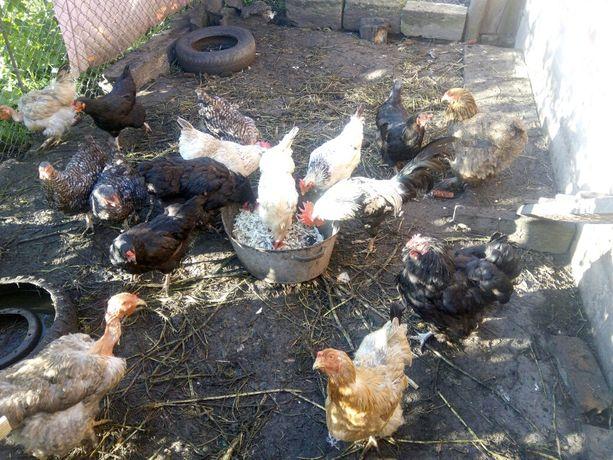 Кури молоді мясо-яєчноі породи