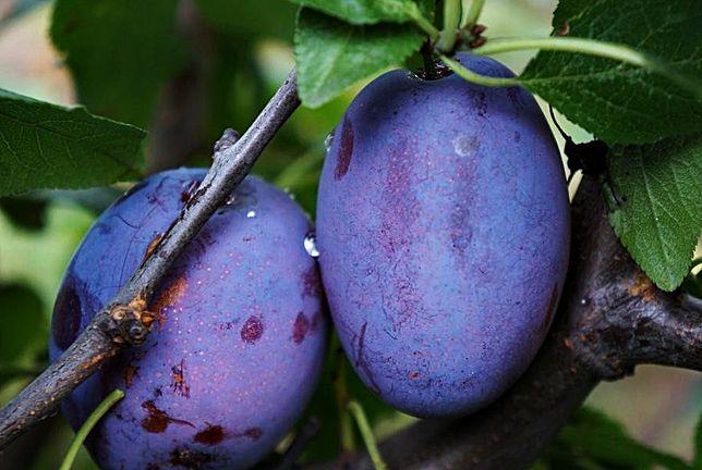 HERBARIUSZ - Śliwa Amers - Duże owoce deserowe, na powidła. Odporna
