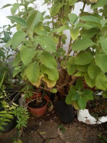 Vendo planta bolbo