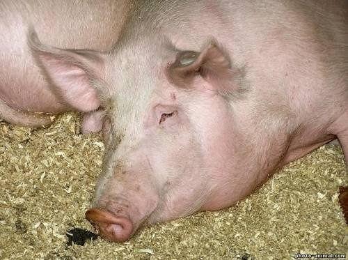 Свині домашні живою вагою