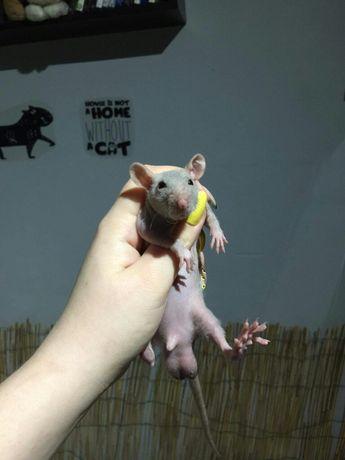 Szczurek fuzz szczury szczurki szczur