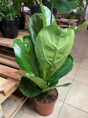 Fikus Figowiec dębolistny | Ficus lyrata roślina doniczkowa