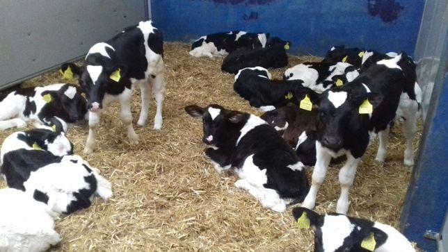 Sprzedam jałówki HF na krowy