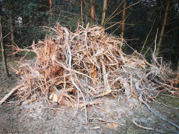 Karpy, korzenie sosny