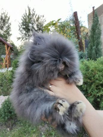 Продам карликового ангорського кролика