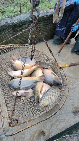 Duży karp na łowiska 7 kg - 13 kg