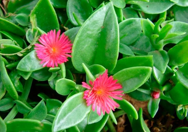 Прекрасные растения для Вашего офиса, дома/квартиры - Аптения