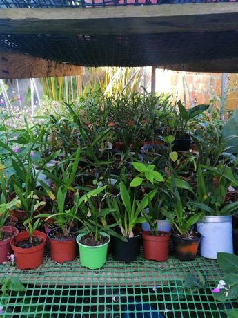 300 orquideas jovens com 3 anos - reprod. invitro - desocupar urgente