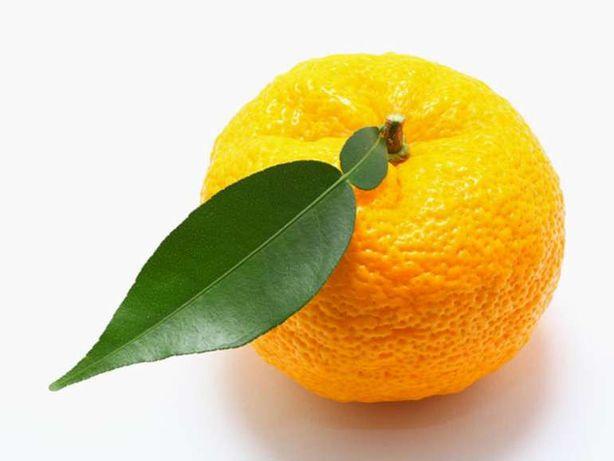 Planta citrino Yuzu - Altissima Rentabilidade para Produtores