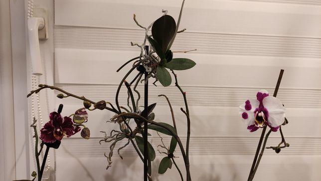 Storczyk keiki fiolet,kropki,smugi 2 sadzonki