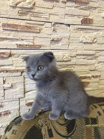 Бесплатно шотландская кошка