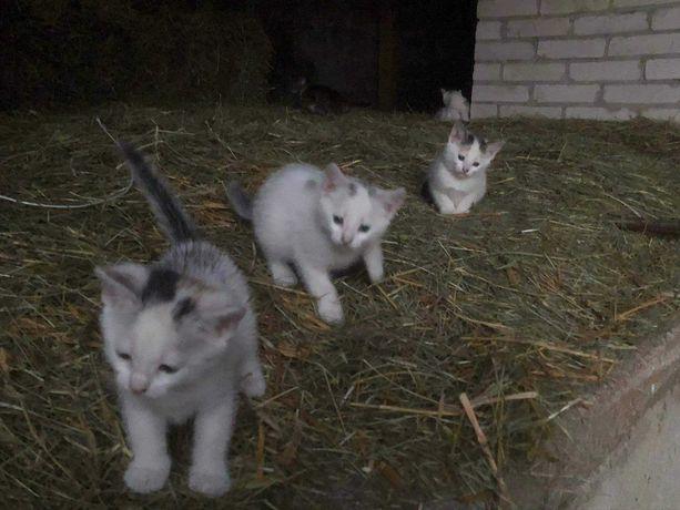 Oddam kocięta, kotki i kocurki