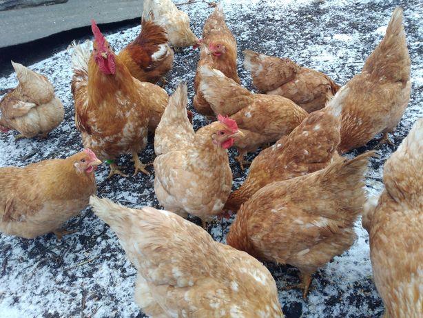 Коротколапые куры для клеток, мини-ферм, дачных хозяйств - мини мясная