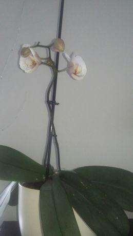 Storczyk w ceramicznej doniczce