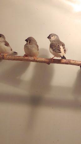 Зебровые амадины (птицы) 3-4 недели - не попугаи