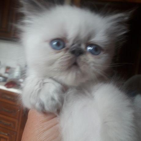 Продаются котята персидские.